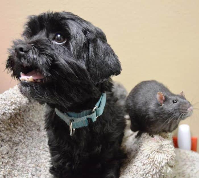 Закадычные друзья: кот, крыса, собака