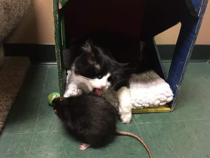 Кот дружит с крысой