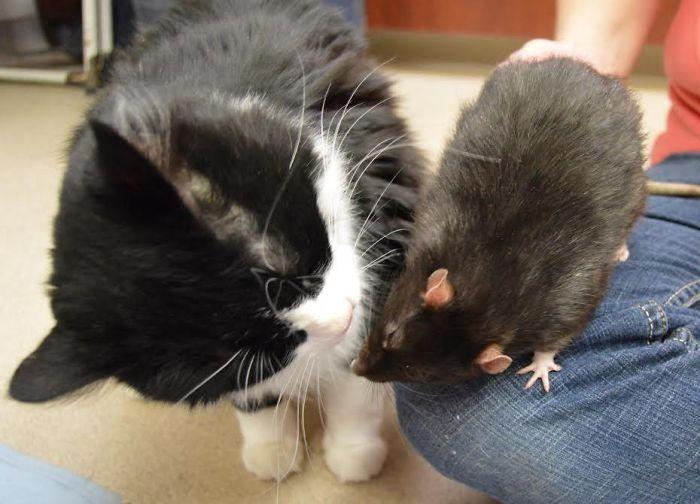 Крыса дружит с котом