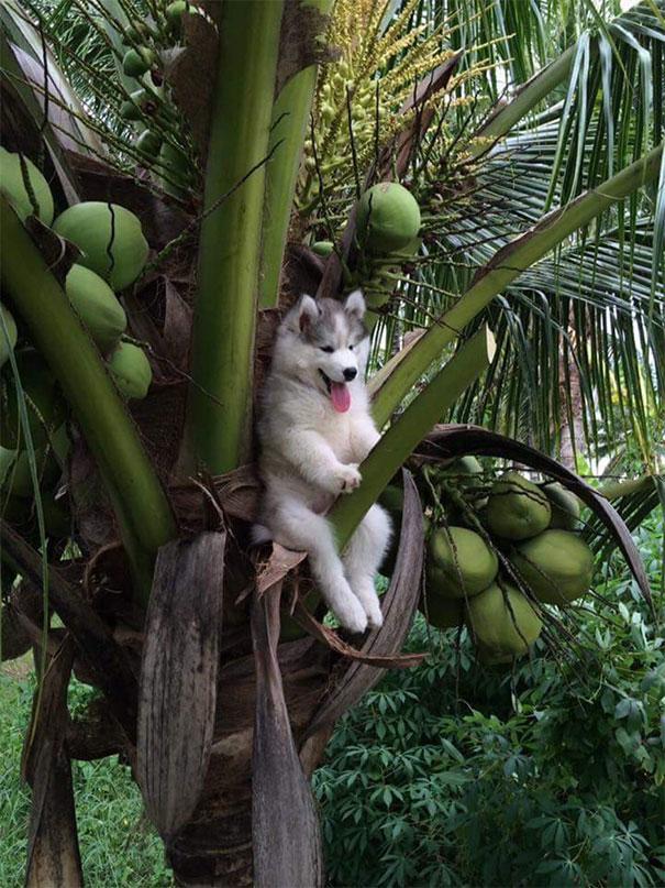 Кокосовая Собака