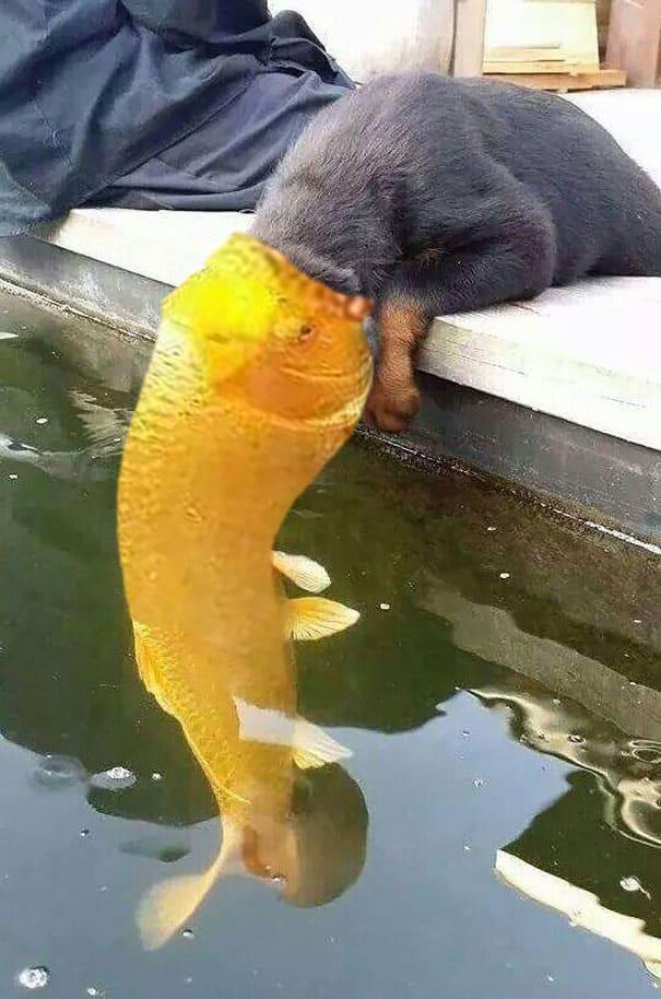 Хищная золотая рыбка