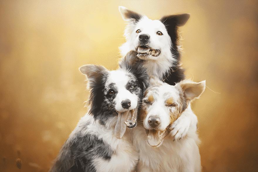 Собачье трио