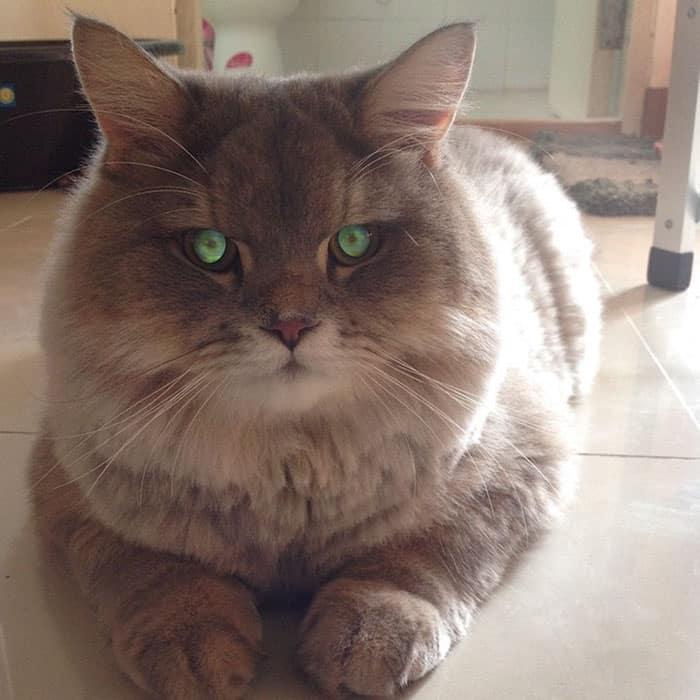 Кот из Таиланда