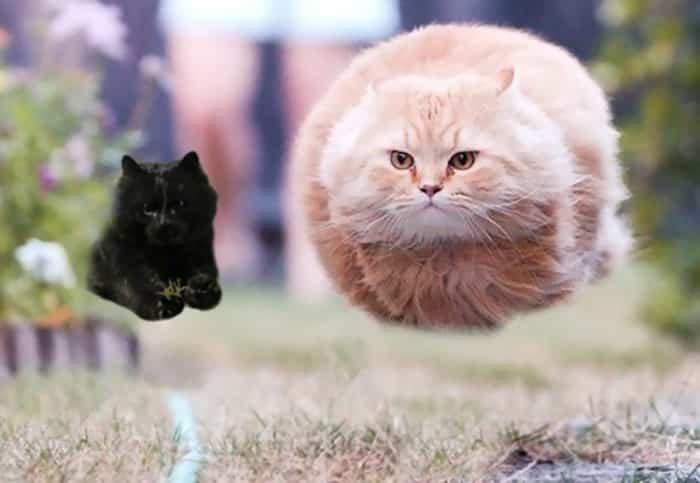 Черная и белая кошка