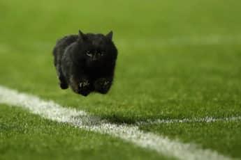Черная кошка оригинал