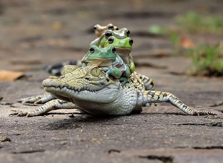 Крокодил с лягушками