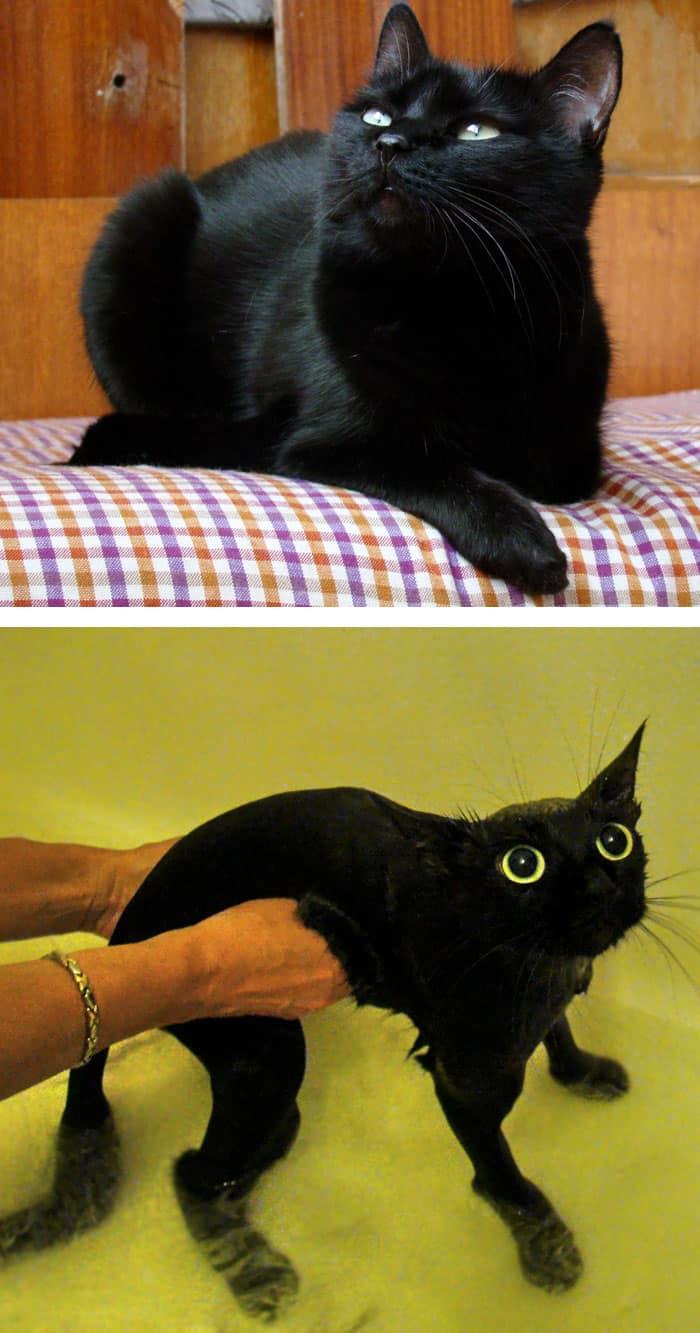 Кошки до и после купания