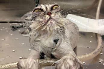 Смешной кот во время купания