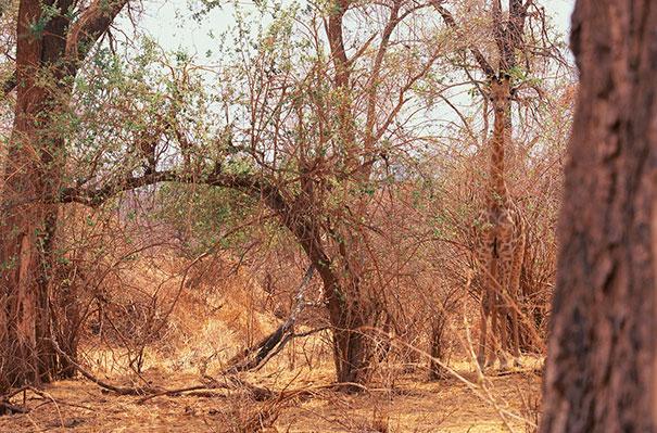 Найди жирафа
