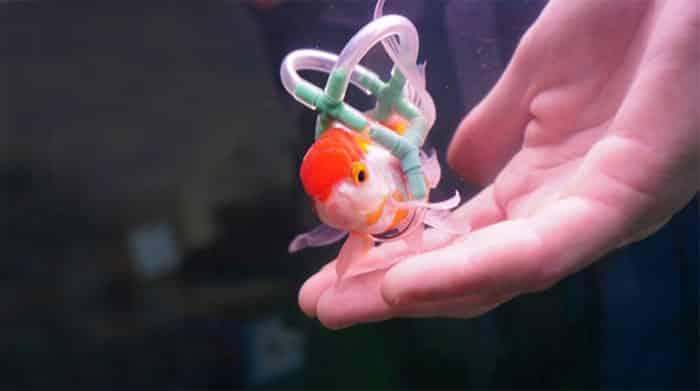 Забота о Золотой рыбке