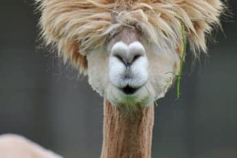 Гламурная альпака