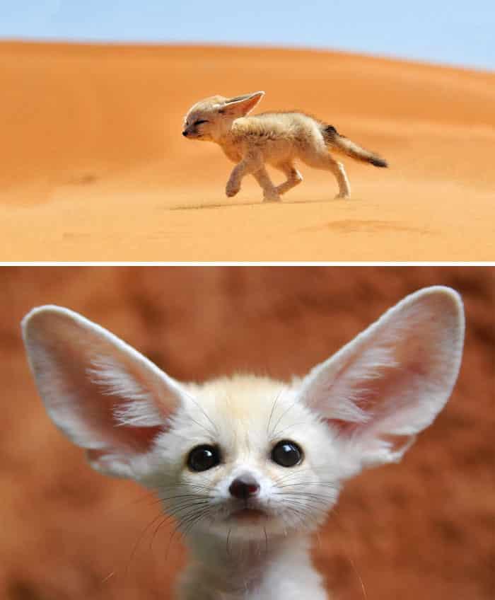 Пустынная лиса