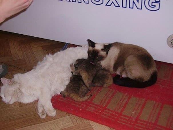 Домашняя кошка для манулов