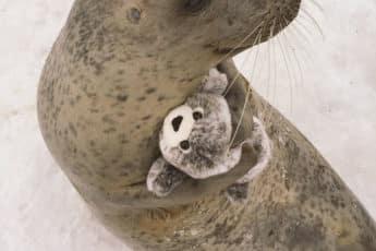 Самка с игрушечным детенышем