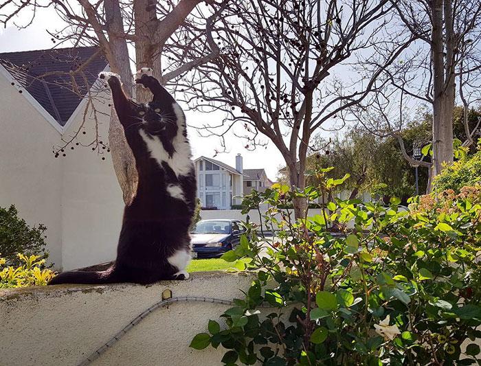 Кошка поднимает лапы вверх при встрече с хозяином