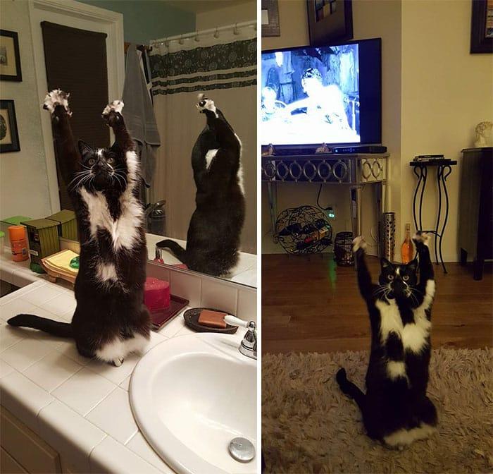 Кошка с поднятыми лапами
