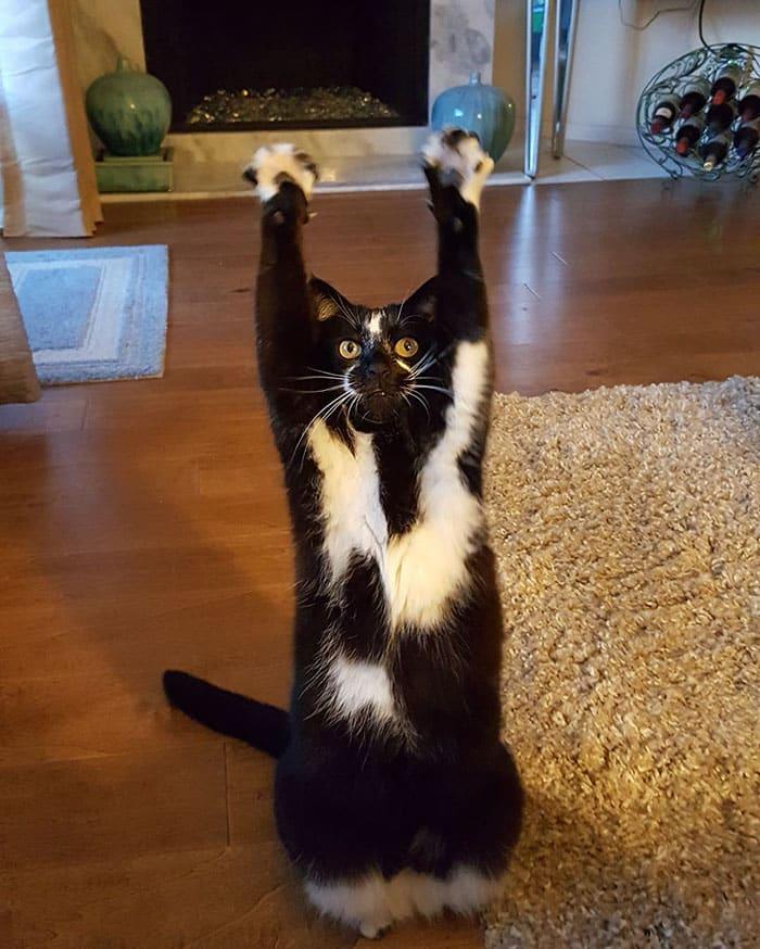 Кошка с лапами вверх