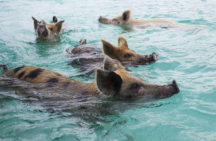 Стадо диких свиней на Багамах