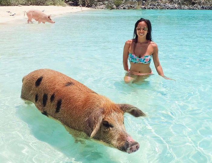 Свинья на Багамах