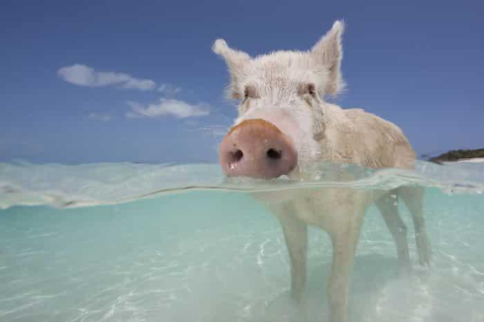 Опасная жизнь свиней на Багамах