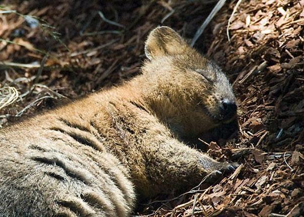 Австралийская куокки самое счастливое животное на земле