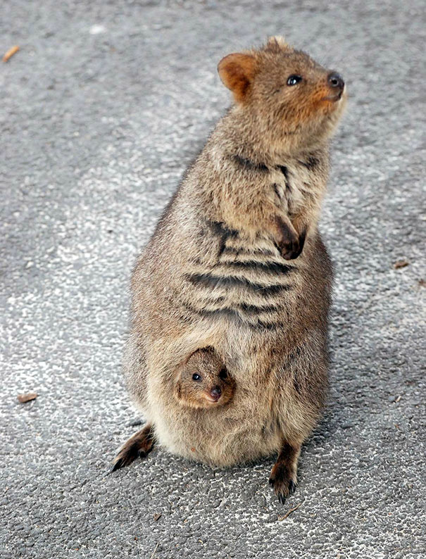 Австралийская куокки с детенышем