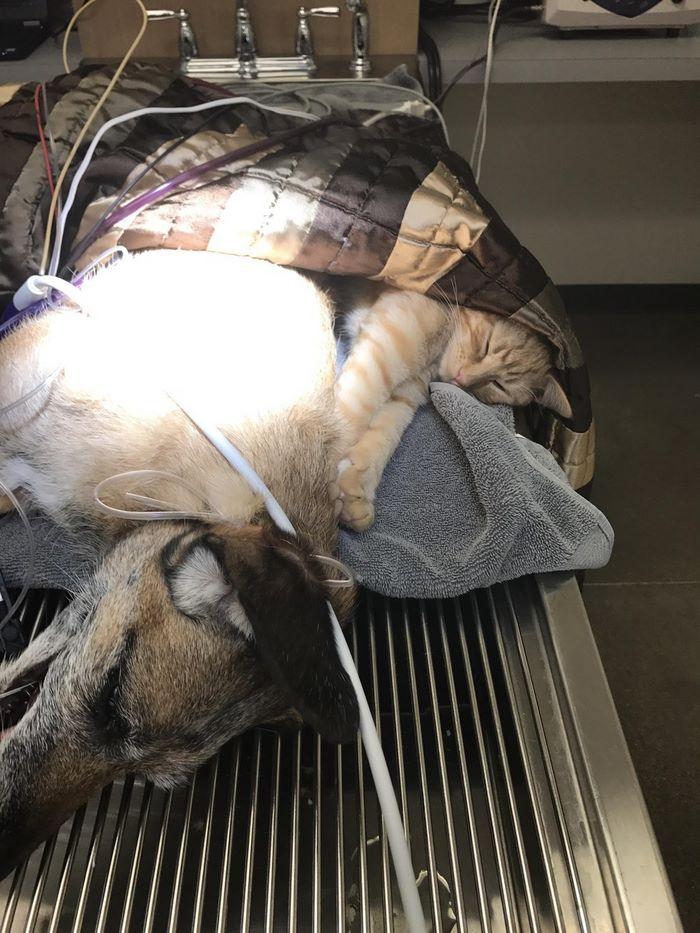 Кот с собакой на операционном столе