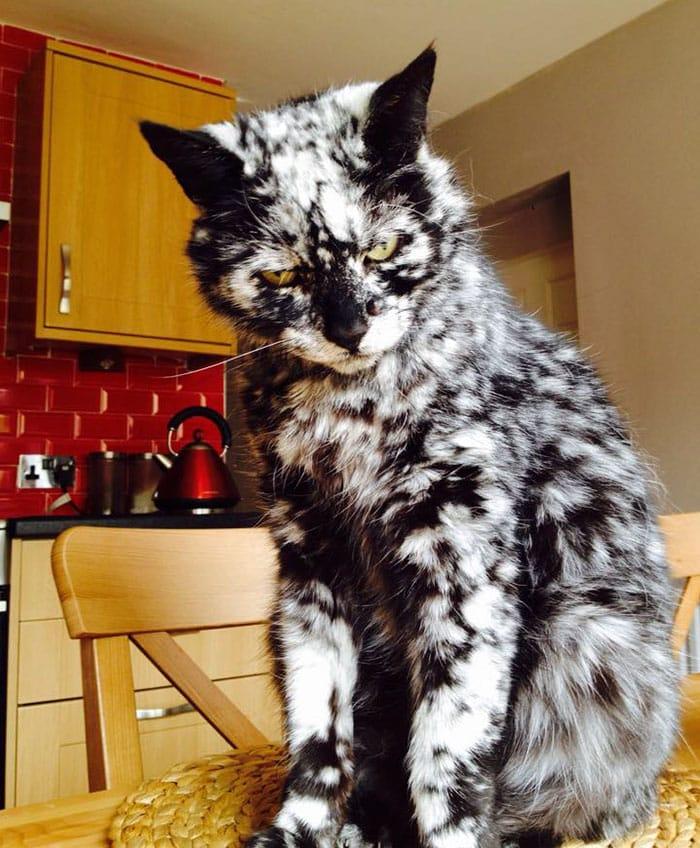 Кот с витилиго