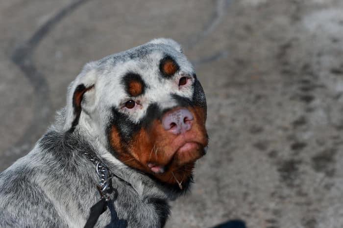 Уникальный окрас собаки