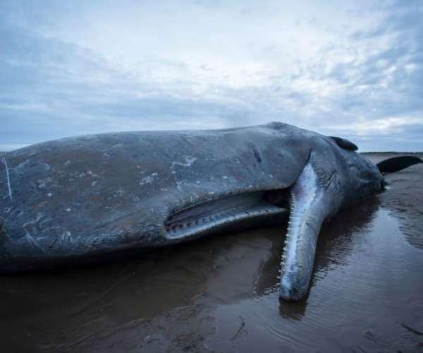 Гибель кашалота от загрязнения моря