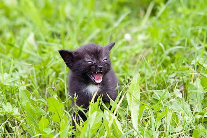 Разъяренный котенок