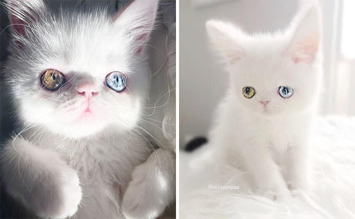 Белоснежный котенок с разноцветными глазами