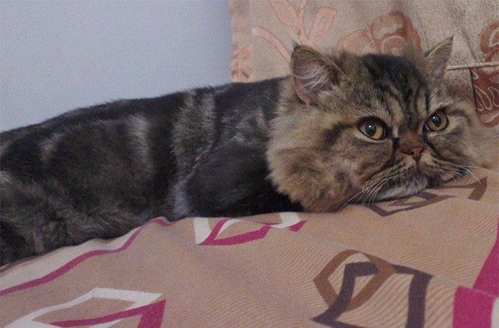 Неудачная стрижка кота
