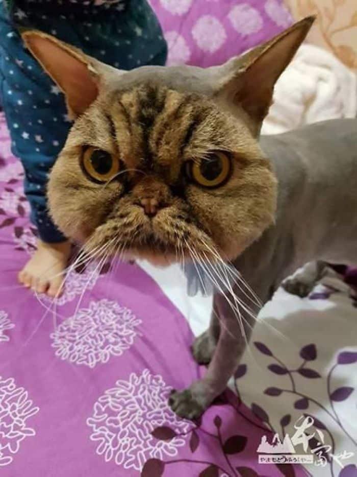 Персидский кот с отвратительной стрижкой