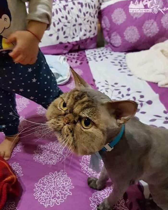 Кот, который должен каждый день бриться