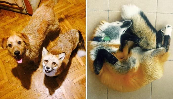 Дружба лисы и собаки