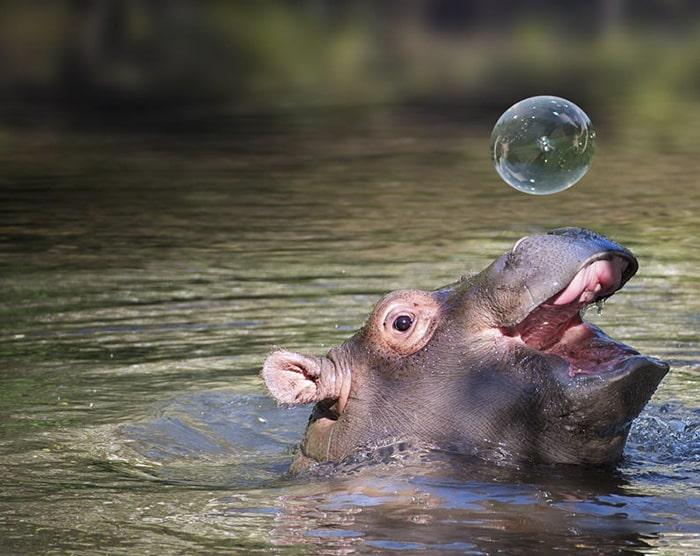 Детеныш бегемота