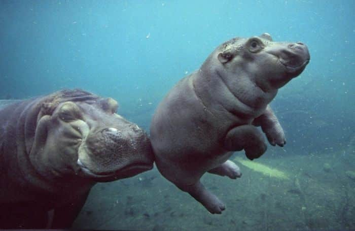Бегемотик с мамой