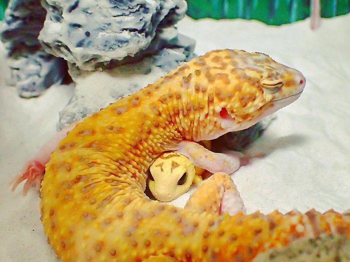 Улыбающийся геккон