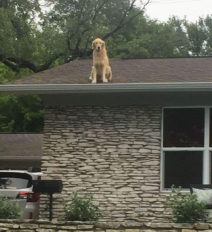 Собака, которая любит гулять по крыше