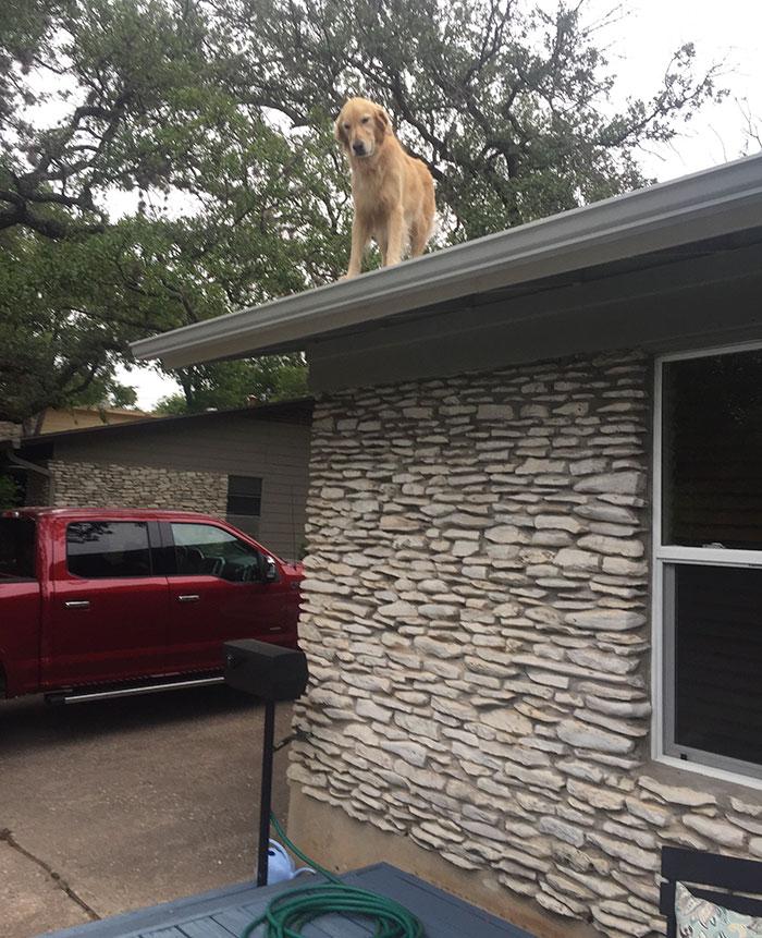 Сторожевая собака на крыше дома