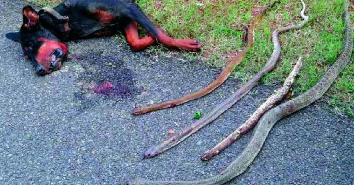 Доберман спас людей от кобр