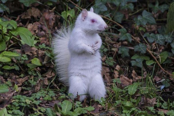 Белая белка