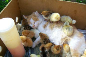 Кошка воспитывает цыплят