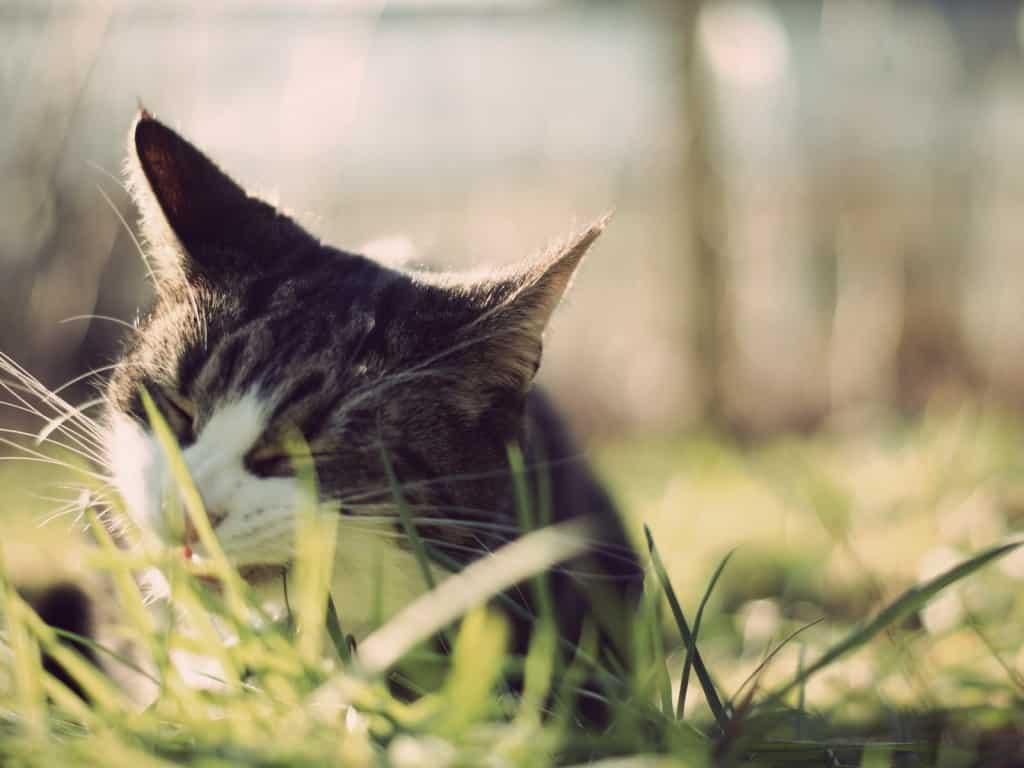 Кошки едят траву