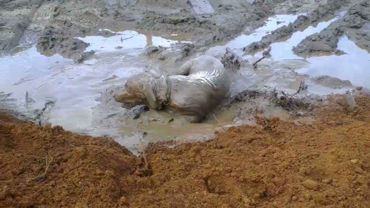 Из собаки в грязи