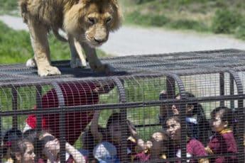 Львы на воле, а люди в клетке