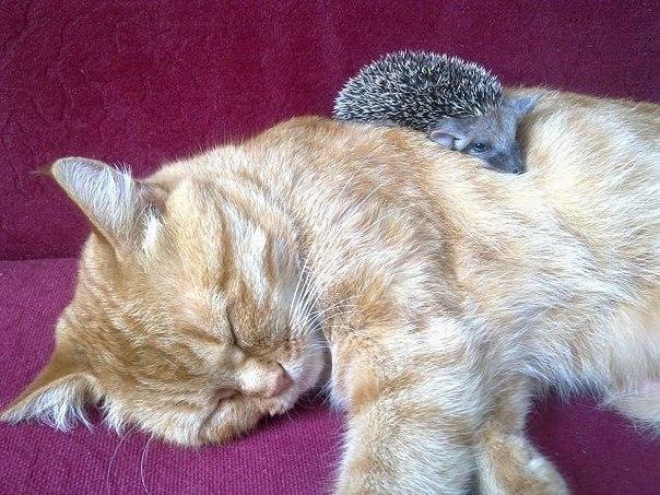 Кошка и ежики