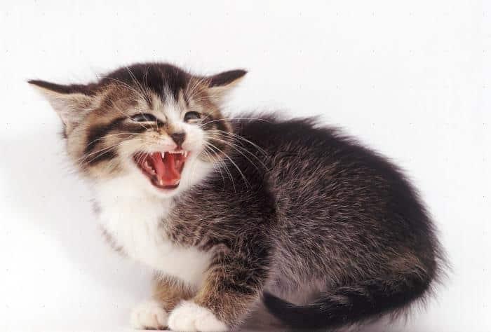 Котенок в полгода