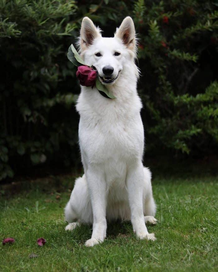 Собачья свадьба